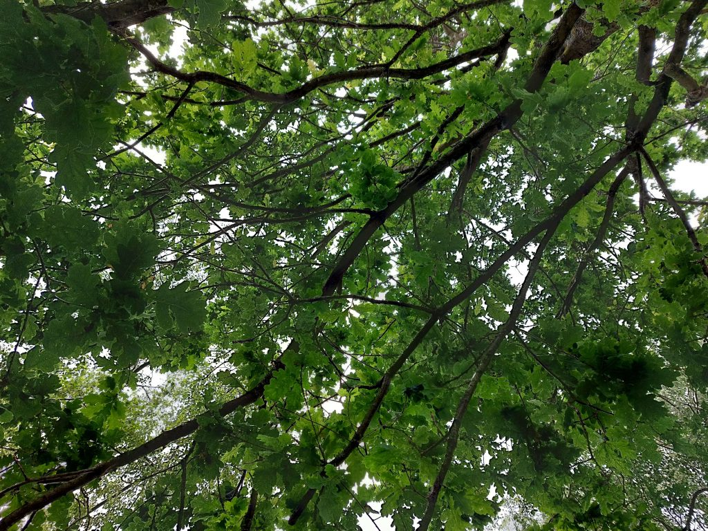 looking up through oak leaves towards to the sky