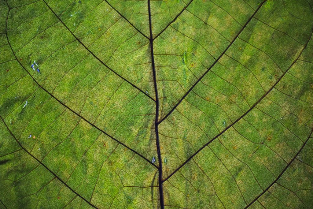 close up of a leaf showing veins of the leaf