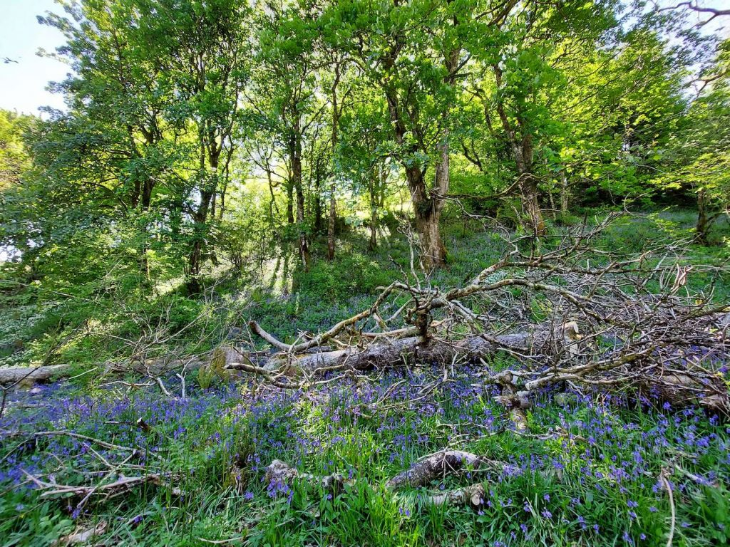 woodland floor with bluebells at forefront and tree at the back