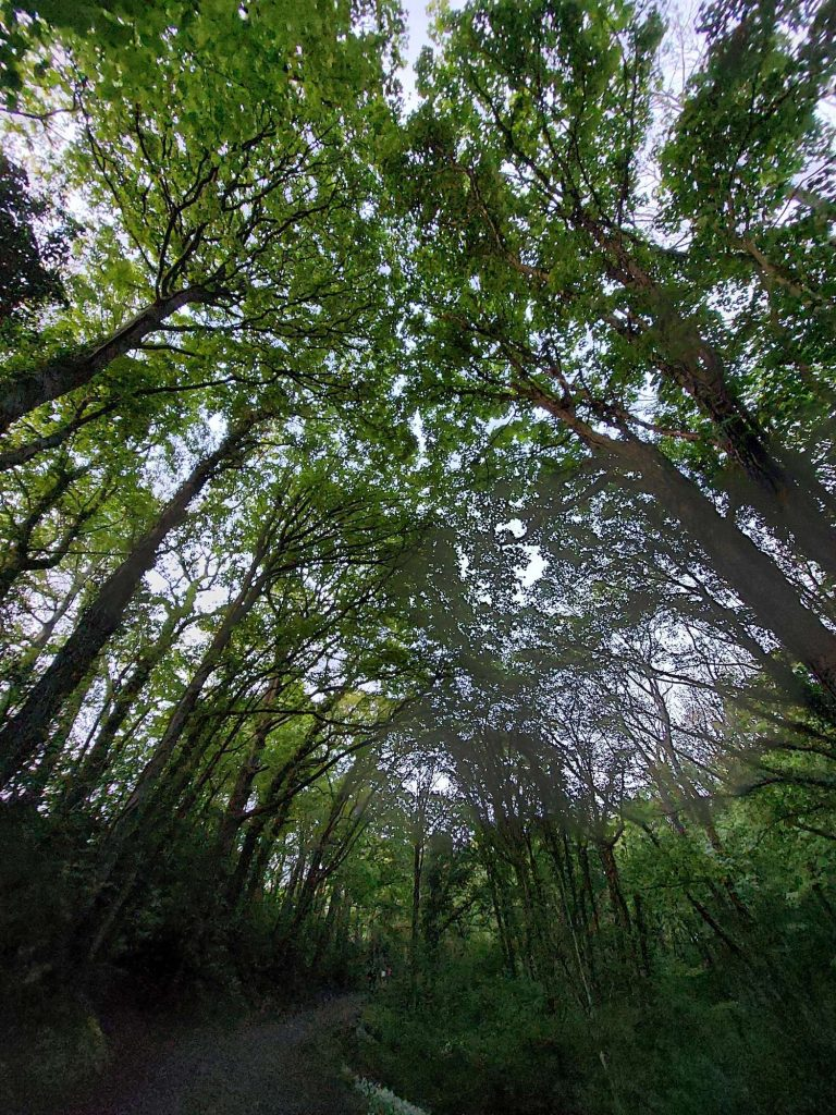 looking up at trees overhanging in the woods