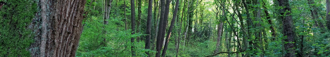 Image of the woods in summer