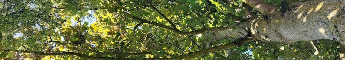 looking up through the leaves towards top of tree